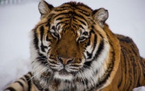 Sabrina, a 21-year-old female Sumatran/Bengal tiger living at the Wildcat Sanctuary in Pine County, tested positive for the novel coronavirus that cau