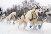 Jennifer Freking flew over the starting line with her excited team as the John Beargrease Sled Dog Marathon kicked off in Duluth on Sunday.