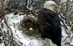 Web cam footage from a previous year shows a female eagle on the nest.