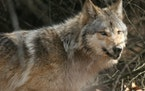 A gray wolf in a wooded area near Wisconsin Dells, Wis.