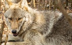 Wolf V088, a male age one to two years, went missing in early November, based on data collected from the animal's GPS and body-monitoring collar.  C