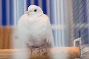 When doves die: Prince's longtime pet Divinity passes at Paisley Park