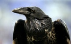 Ravens stand out with their aerial displays and intelligence.