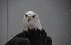 Freedom made his home at the U's Raptor Center but now will reside as an exhibition bird at the Turtle Back Zoo.