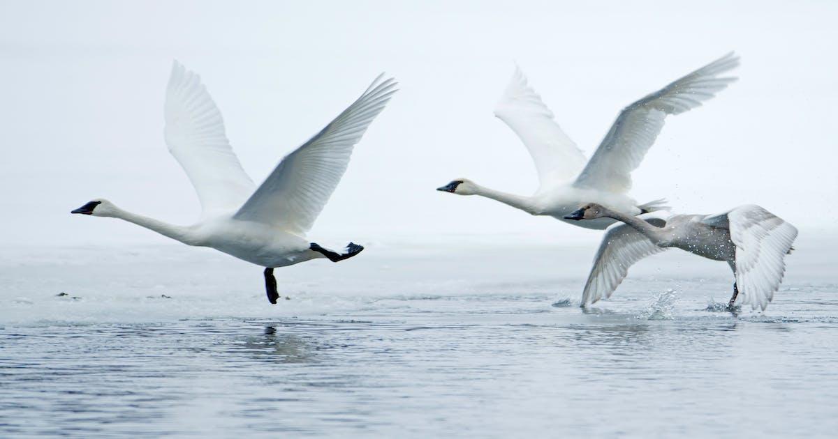 Bird deaths fuel push for Minnesota lead tackle ban