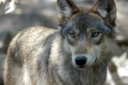 After killing pets and cows, a metro wolf pack disappeared.