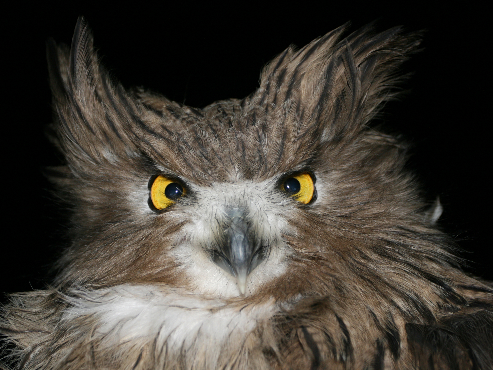 Bad hair days are always a thing for fish owls. Their rough feathers help them stay warm.
