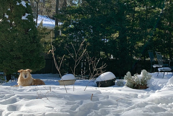 A dog resting by a backyard garden covered in snow in Westchester County, N.Y. on Feb. 4, 2021.