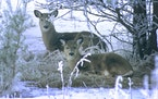 Seeking warmth and protection from snow, two whitetails bedded down on a winter's day. Deer can survive extreme cold like Minnesota is experiencing.