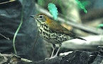 The wood thrush, a bird nesting in southeast Minnesota, including wooded areas in the metro area, is doing well enough as a species to have had its po