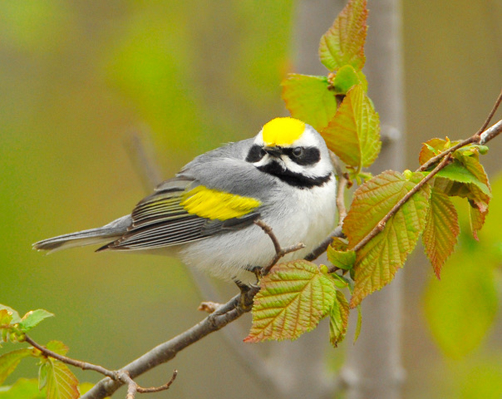 Golden-winged warblers fall into the Near-threatened conservation status.