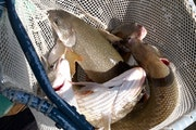 Most of the hatchery-raised lake trout stocked by Department of Natural Resources fisheries staff in mine pit lakes in the Crosby-Ironton area are yea
