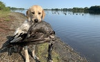 Fella, an 11-month-old Labrador retriever, with his first-ever goose — a bird he circled and barked at before retrieving in September.