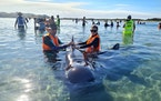 In this photo provided by Project Jonah, rescuers work to save pilot whales beached at Farewell Spit at the top of the South Island of New Zealand, Mo