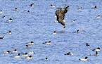 A bald eagle surveys a raft of merganser ducks. Jim Williams