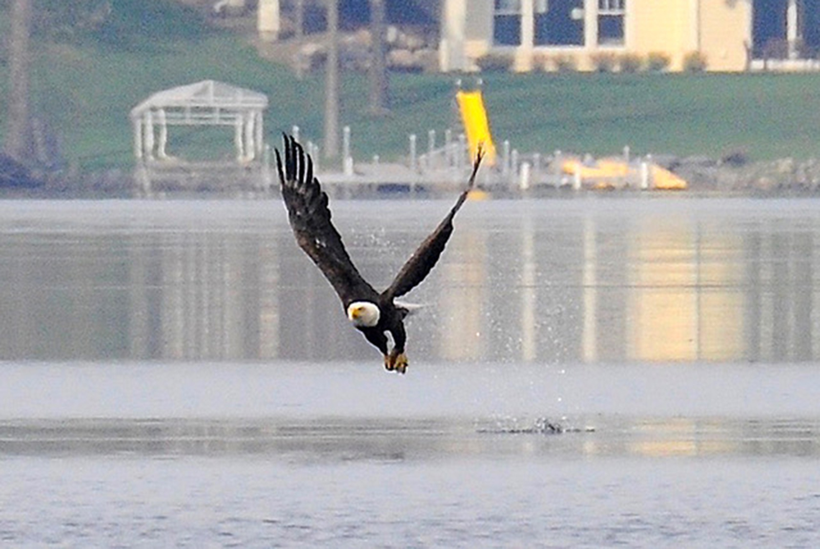 A bald eagle lifts off a lake with its prey.