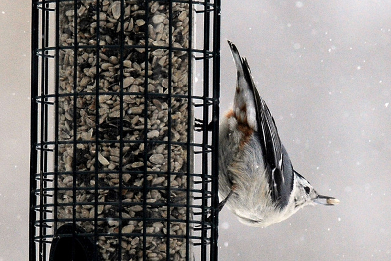 Nuthatches perch head down to feed.