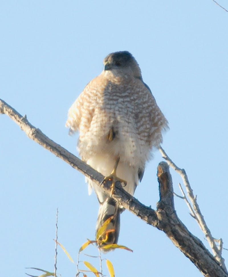 A Cooper's hawk tucks a foot to keep it warm.