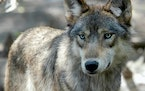This July 16, 2004, photo, shows a gray wolf at the Wildlife Science Center in Forest Lake, Minn. Wisconsin wildlife officials plan to end the state�