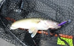 A nice walleye caught on Lake Mille Lacs. On Wednesday, the DNR heard recommendations on early-season walleye limits from a panel.