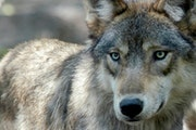 215 Wolves killed in 3-day hunt 119 Quota set for the Wis. hunt