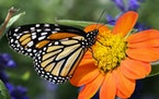 The number of monarch butterflies that showed up at their winter resting grounds in central Mexico decreased by about 26% this year.