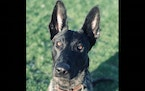 Duluth K-9 Luna  Credit: Northland K-9 Foundation