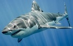 Sharks, above the great white variety, have a bad reputation among humans. But a new study, published last week, says sharks help marine ecosystems su
