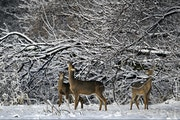 In this April 23, 2013, file photo, whitetail deer browse on tree buds in the Wood Lake Nature Center in Richfield, Minn. (AP Photo/The Star Tribune,