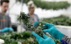 Workers harvest cannabis flowers and buds in 2019 at LeafLine Labs in Cottage Grove. Advocates have argued for years that the ban on cannabis in its m