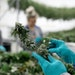 Workers harvest cannabis flowers/buds in 2019 at LeafLine Labs in Cottage Grove, MN. DAVID JOLES • STAR TRIBUNE