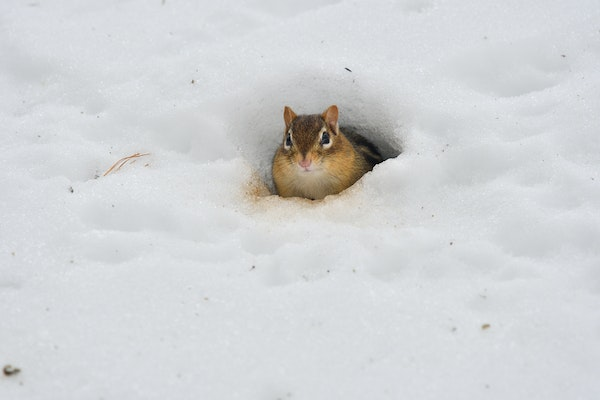 An eastern chipmunk surfaced from its burrow.