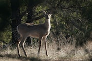 The Department of Natural Resources plans to enlist hunters again to provide deer spleens for study.