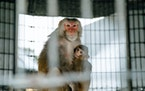 Monkeys, such as pink-faced rhesus macaque, are ideal for research since primates share more than 90% of our DNA.
