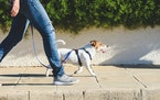 Using treats and a lure can help train a dog to turn.