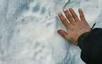 A bear track in the Alaska in the backcountry near where resident Shannon Stevens was bit by a bear in an outhouse. Stevens was using an outhouse in t