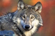 Wisconsin's DNR was up against some factors it could not control when a February wolf hunt caused a national outcry.