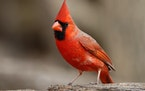 Cardinals are a welcome sight in any season.