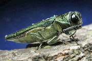 This undated file photo provided by the Minnesota Department of Natural Resources shows an adult emerald ash borer.