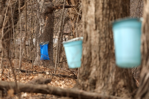 Sap dripped into collection bags and buckets from tapped maple trees at the Landscape Arboretum.