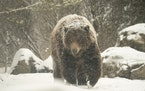 One of the brown bears in the Russia's Grizzly Coast exhibit at the Minnesota Zoo sauntered through the falling snow Monday afternoon.