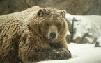 One of the brown bears in the Russia's Grizzly Coast exhibit at the Minnesota Zoo scratched under its chin while lounging outdoors in the falling sn