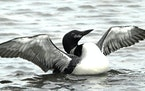 Common loons swallow old lead pellets while searching for small stones they use to aid digestion.  JIM WILLIAMS