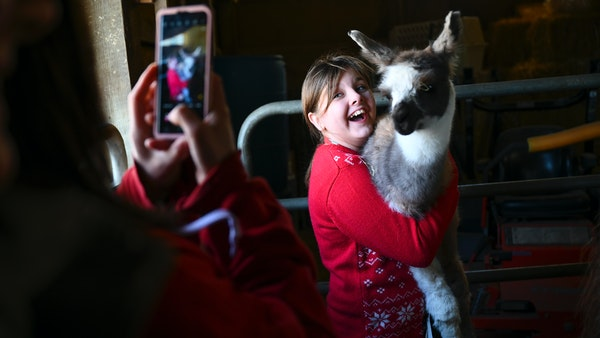 Need a hug? Head to a llama farm