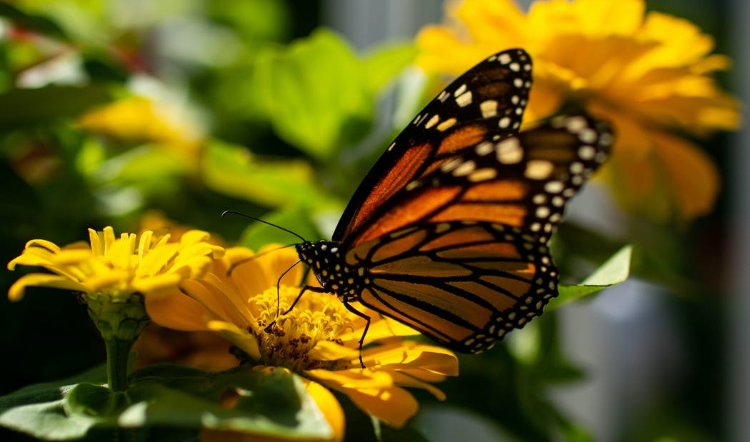 Image of monarch butterfly on rosinweed flower.