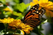 Monarch butterfly numbers have fallen 80% in Minnesota since the 1990s.