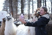 Caroline Flor, a senior at Stillwater High School, took a selfie with a llama while visiting Carlson's Llovable Llamas in Waconia .