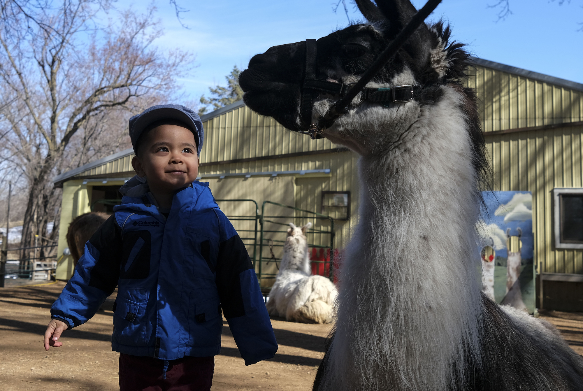 Andrew Maung, 2, of Elk River, looked up at Zorro, one of the llamas at Carlson's Llovable Llamas, while visiting with his parents.