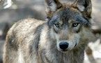 This July 16, 2004, file photo, shows a gray wolf at the Wildlife Science Center in Forest Lake, Minn. Chippewa tribal officials in Wisconsin, Minneso
