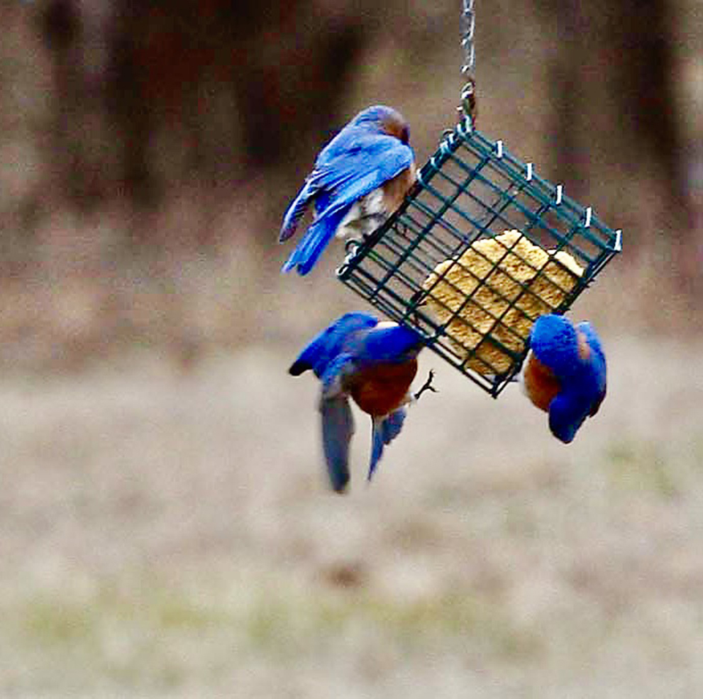 Bluebirds are eager for suet at the end of winter.